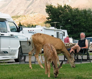 Deer graze in RV campsite at Waterton Lakes National Park.